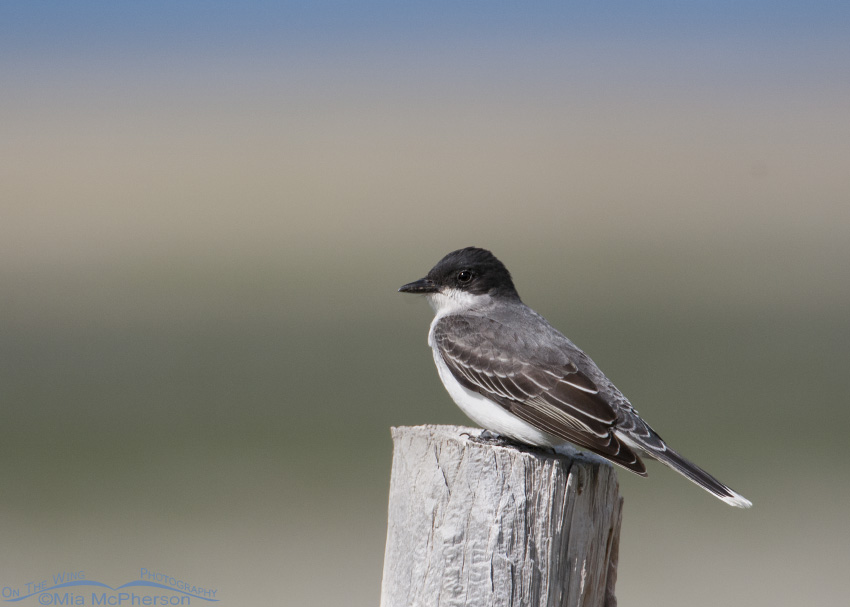 Eastern Kingbird in the Centennial Valley