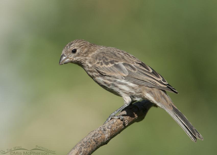 House Finch female in September