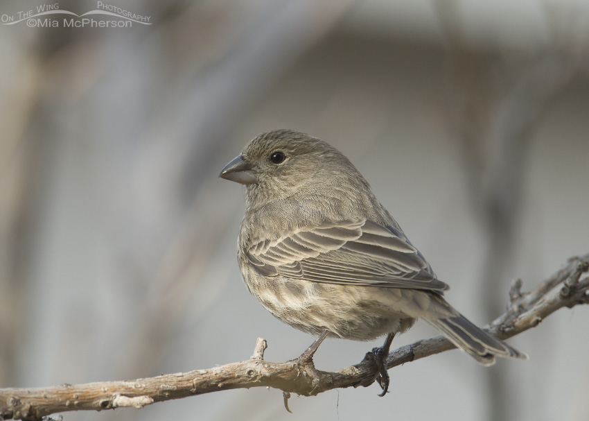 Female House Finch in winter