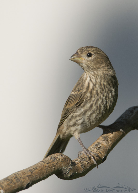 Perched female House Finch