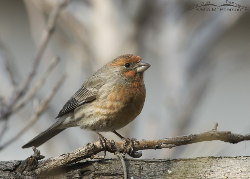 Male House Finch in Salt Lake County