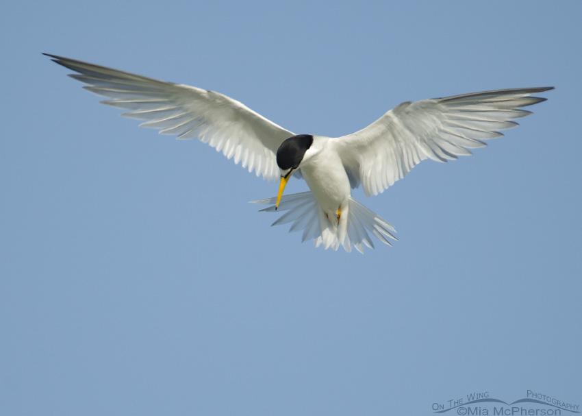 Least Tern looking for breakfast