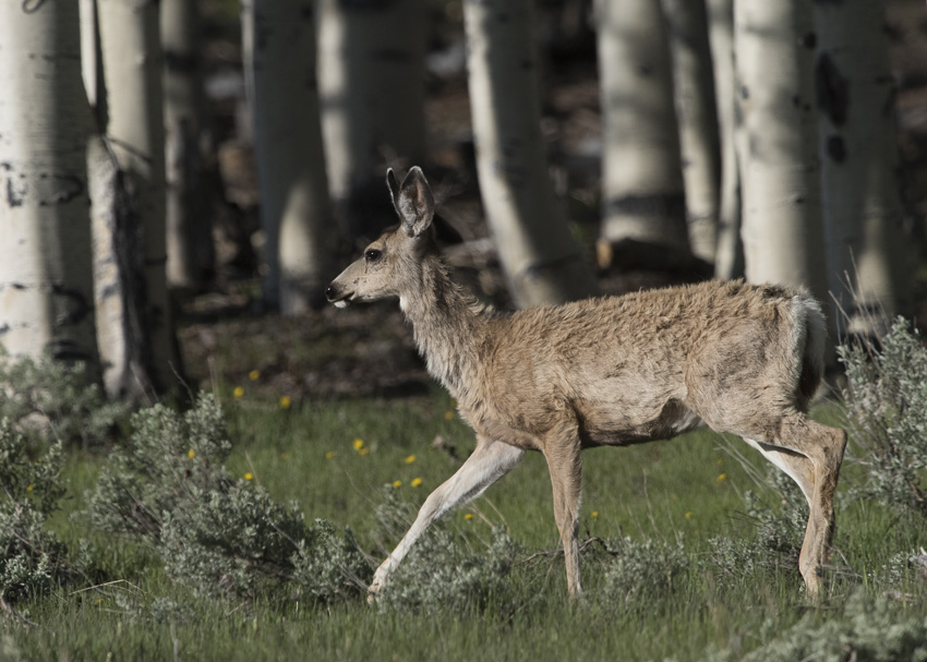 A Mule Deer on the Parker Range