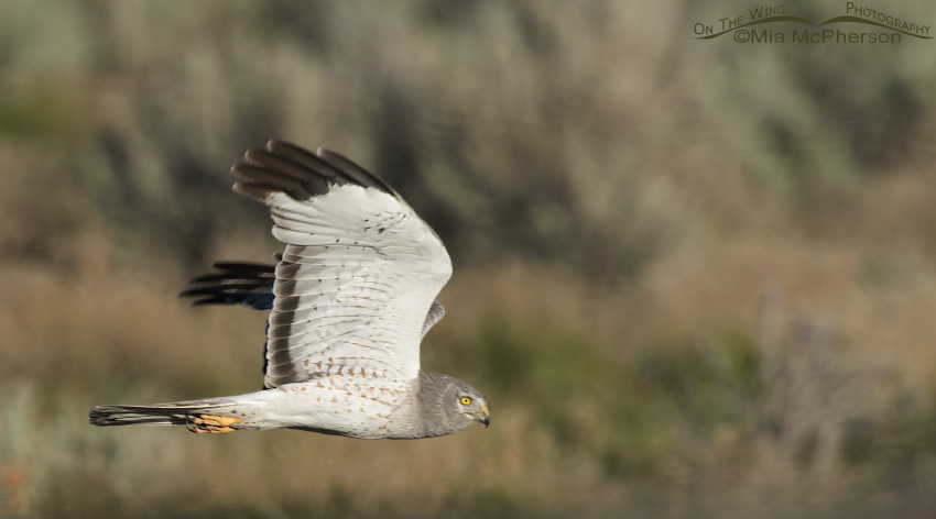 Northern Harrier male flying over a Burrowing Owl burrow