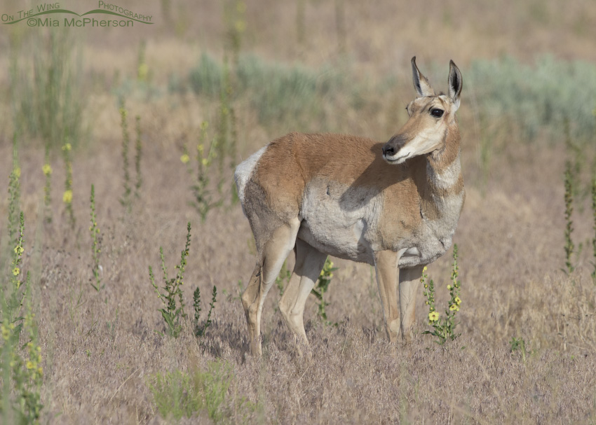 A Pronghorn doe keeping an eye on three fawns