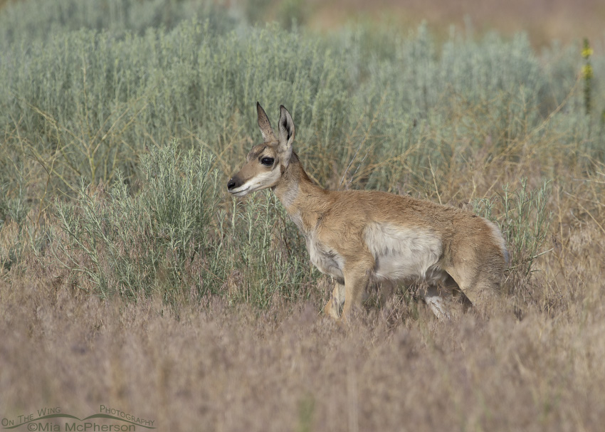A Pronghorn fawn in front of Rabbitbrush