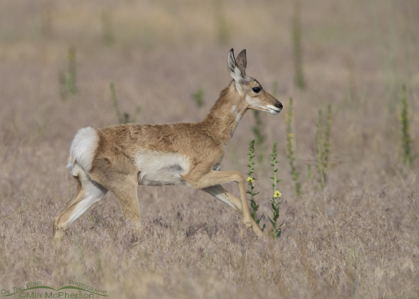 Pronghorn fawn rushing towards a doe