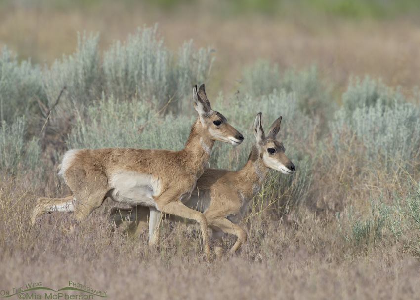 Young Pronghorn fawns running side by side