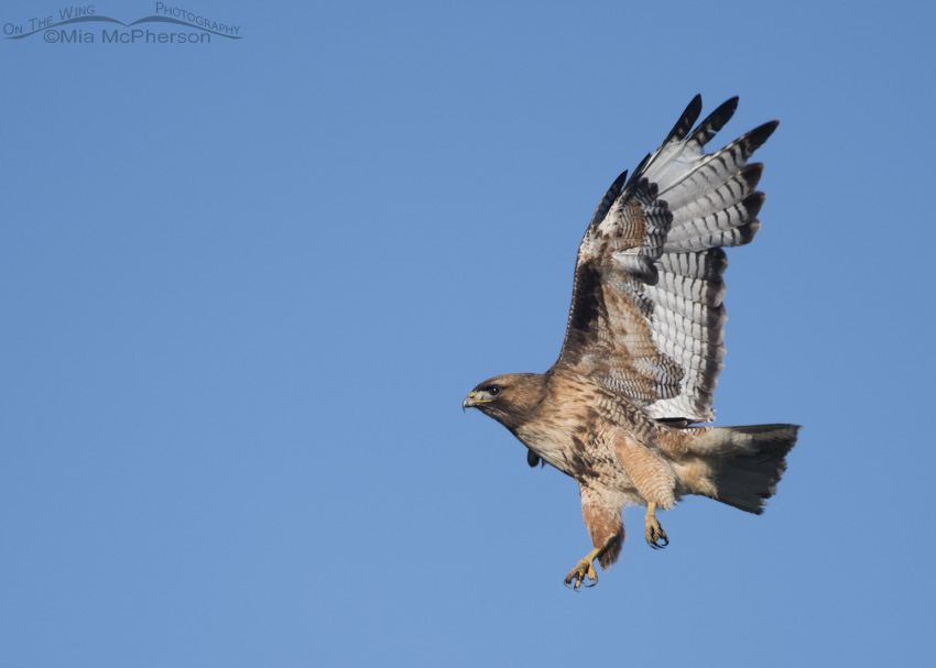 A Red-tailed Hawk just after lift off