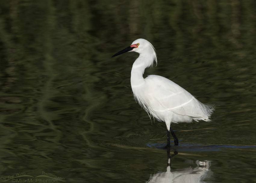 Snowy Egret in breeding plumage at Bear River Migratory Bird Refuge