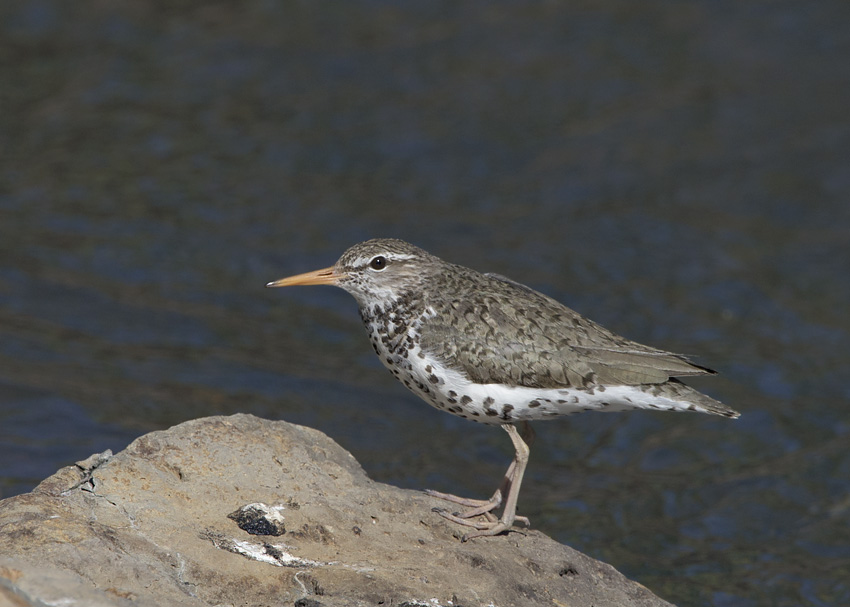 Spotted Sandpiper in the Targhee National Forest