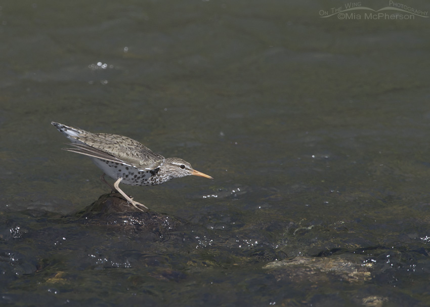 Spotted Sandpiper in take off position
