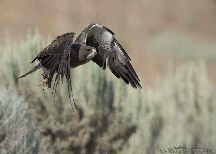 Swainson's Hawk in molt