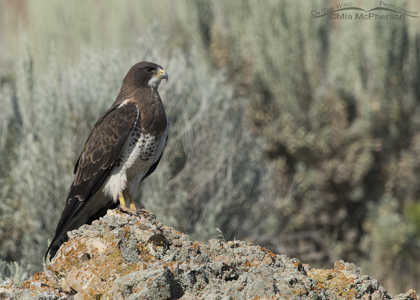 A Swainson's Hawk perched on a lichen covered boulder