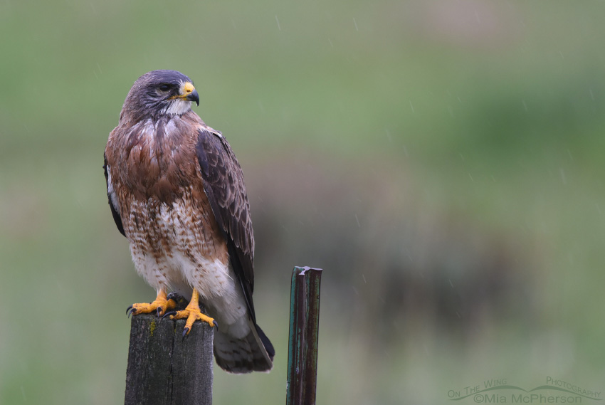 A Wet and Bedraggled Swainson's Hawk