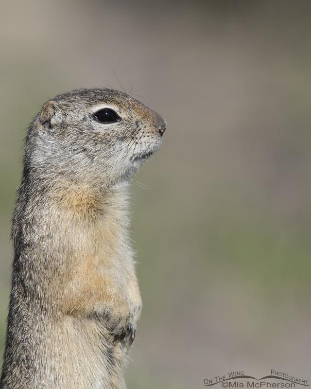 Uinta Ground Squirrel Portrait