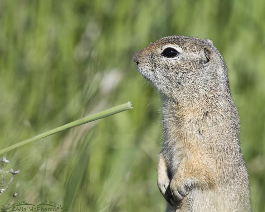 A Centennial Valley Uinta Ground Squirrel