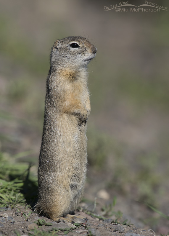 A welcoming Uinta Ground Squirrel at the gate to the River Marsh Campground