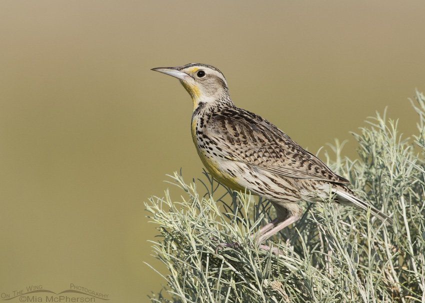 A Young Western Meadowlark perched on rabbitbrush
