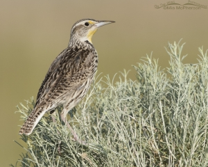 An alert young Western Meadowlark