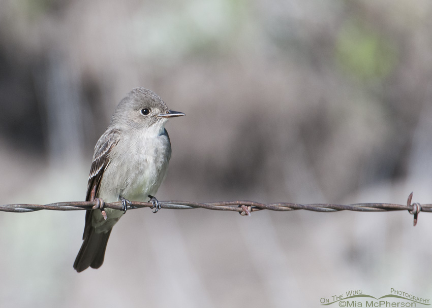 Western Wood-Pewee on a fence