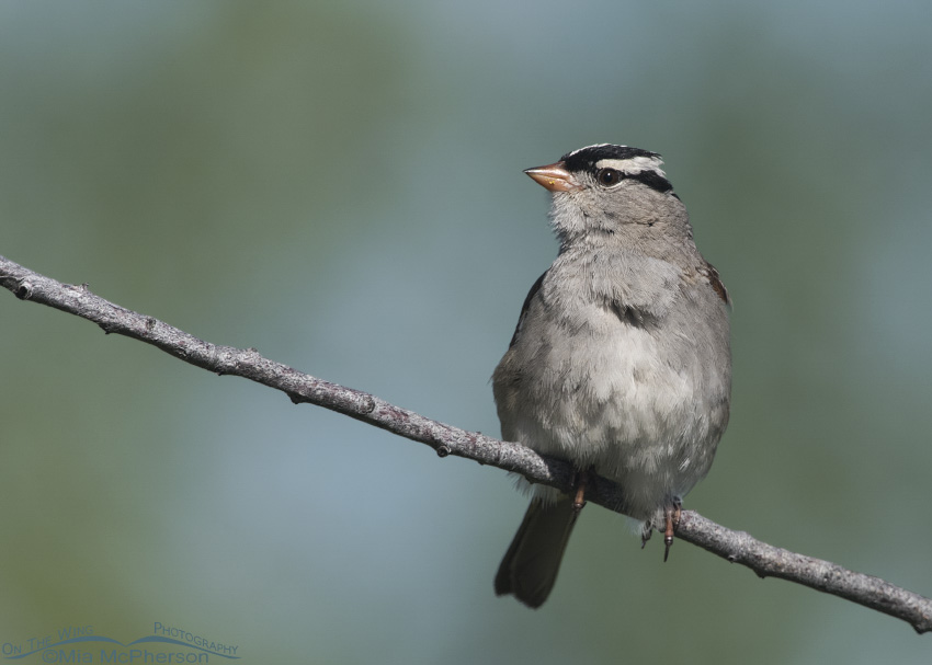 A Perky White-crowned Sparrow