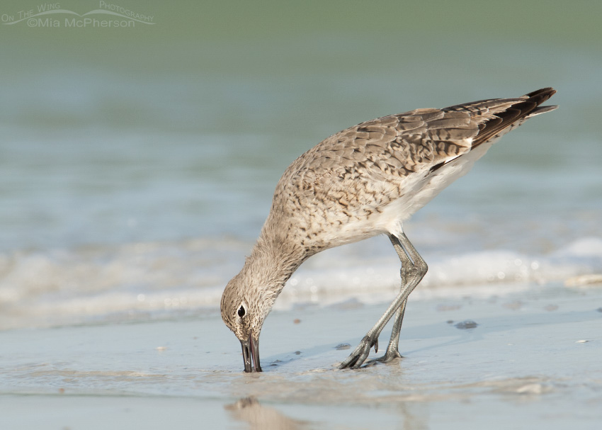 A Willet poking the sand with its bill