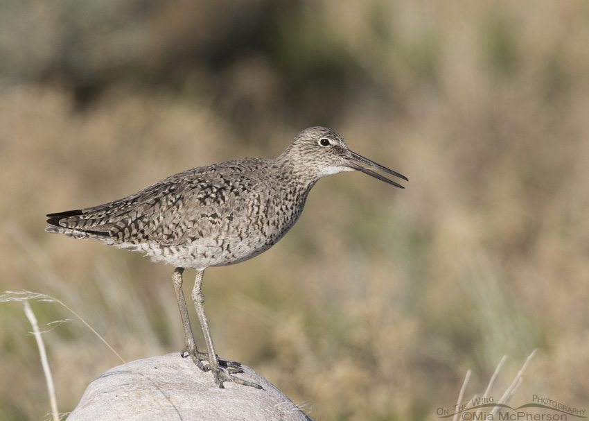 Adult Western Willet calling on an April morning