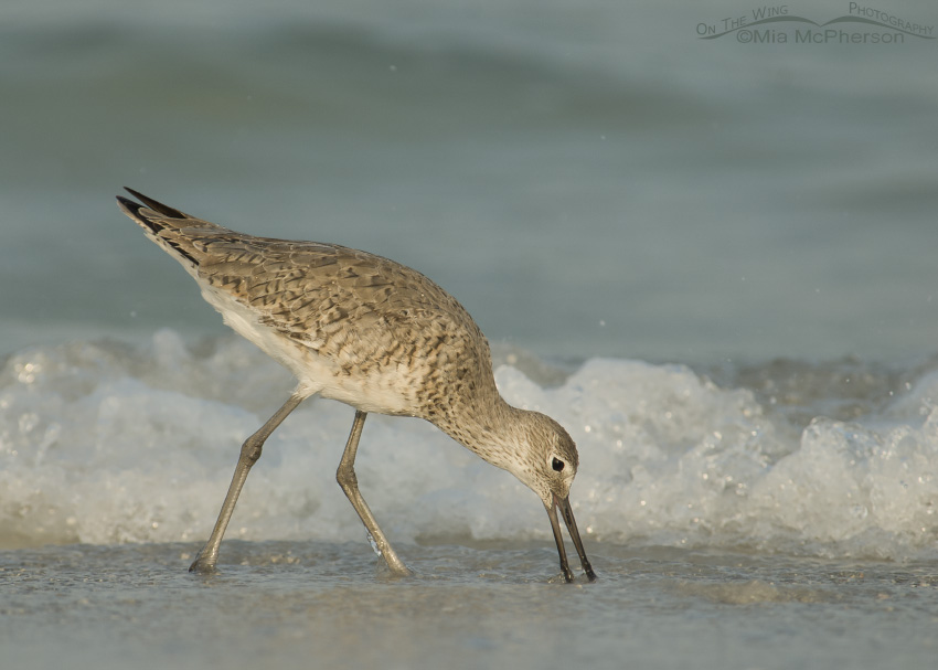 Willet feeding on shoreline at the edge of the waves