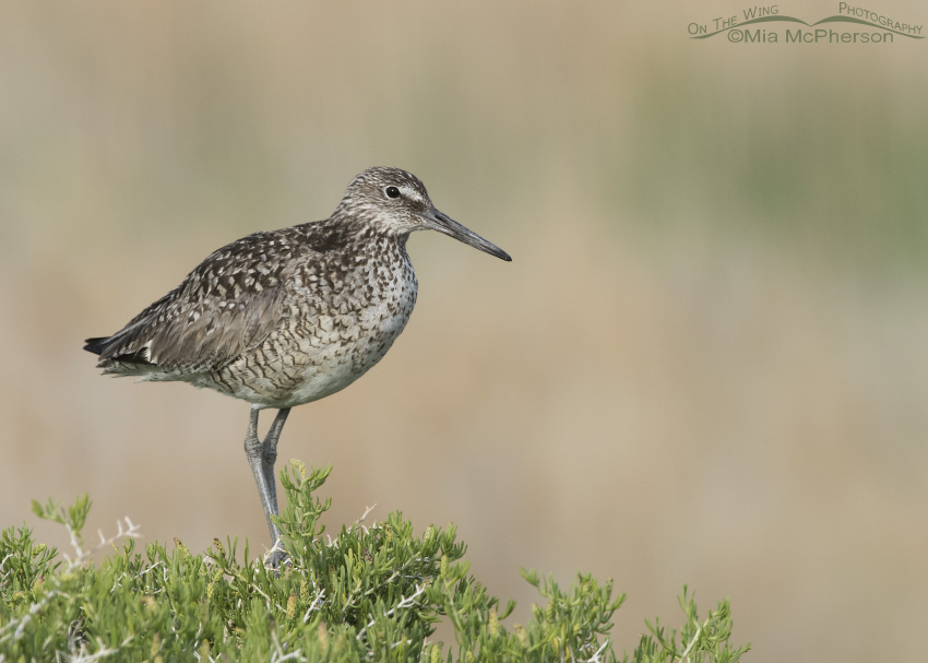 Willet perched high on a Greasewood
