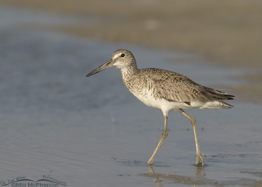 Willet at the edge of a lagoon