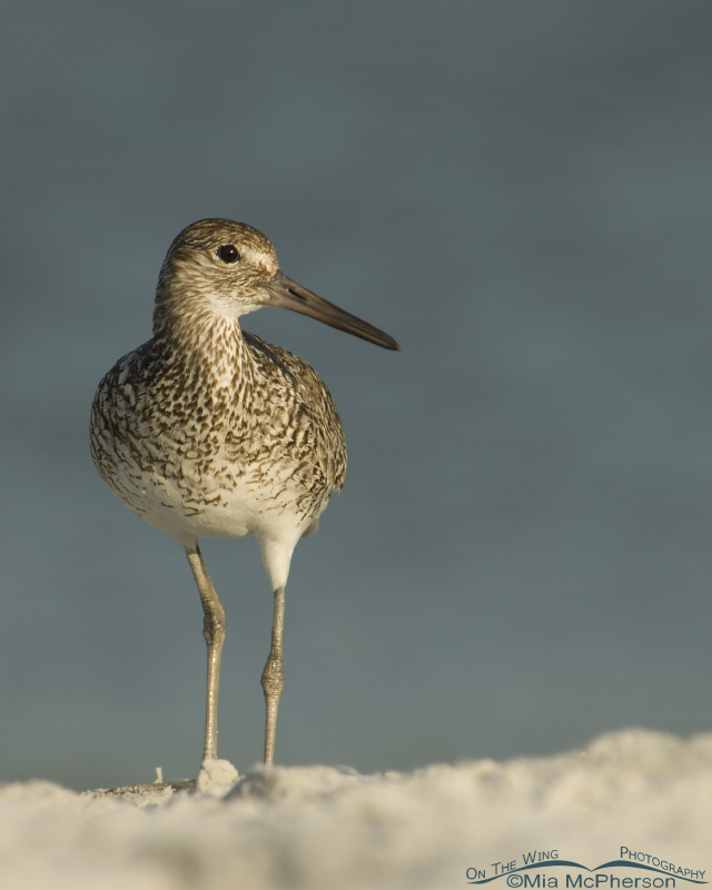 Eastern Willet on mound of sand