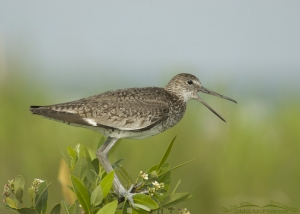 Willet calling on mangrove