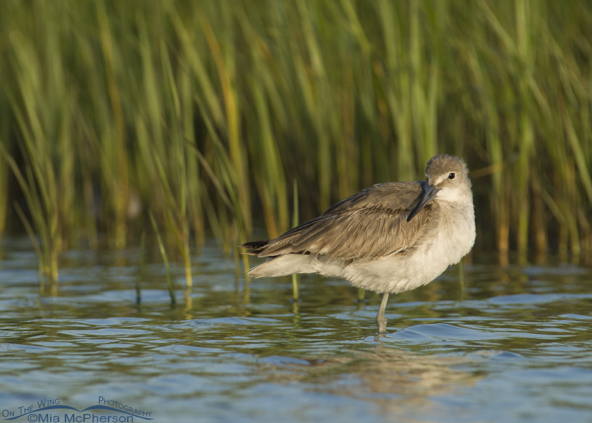 A Willet in a lagoon