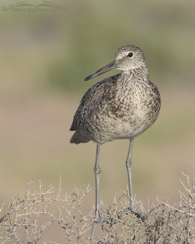 Western Willet perched on Greasewood
