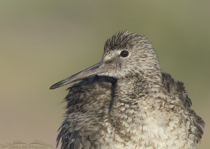 A Fluffed up Willet Close Up