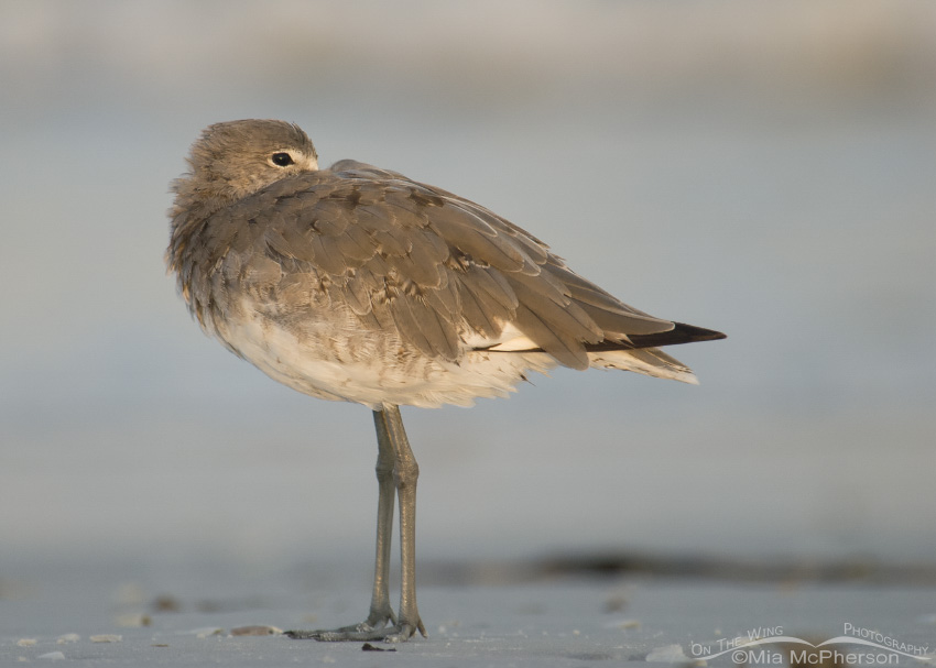 Restful Willet at sunrise
