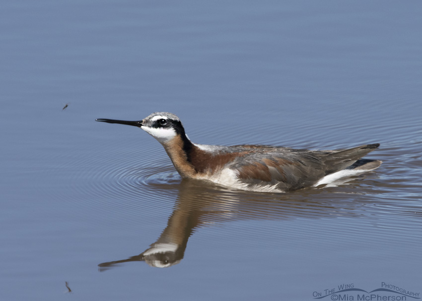 A Wilson's Phalarope and a Midge
