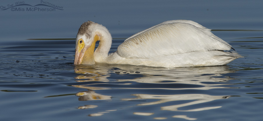 A fishing American White Pelican