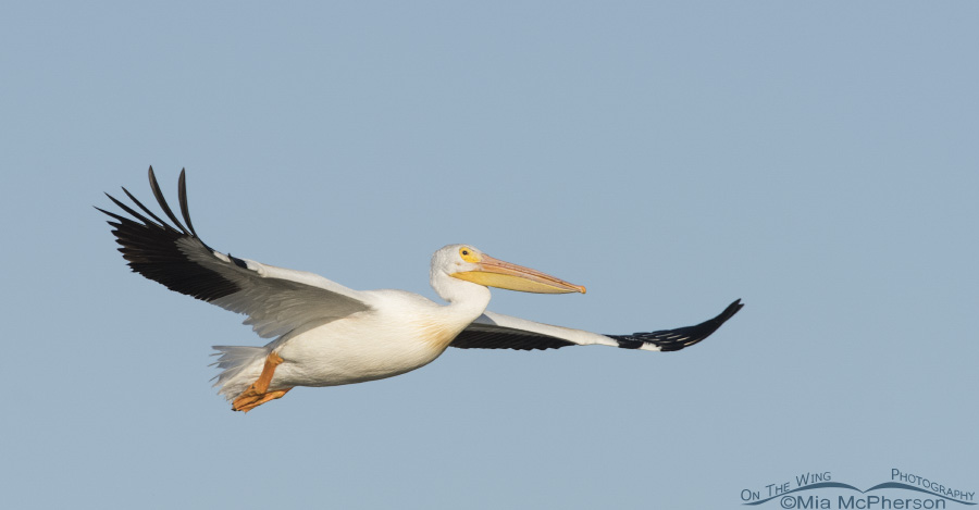 An American White Pelican in a clear July sky