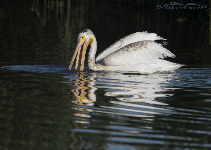 American White Pelican feeding at Bear River NWR