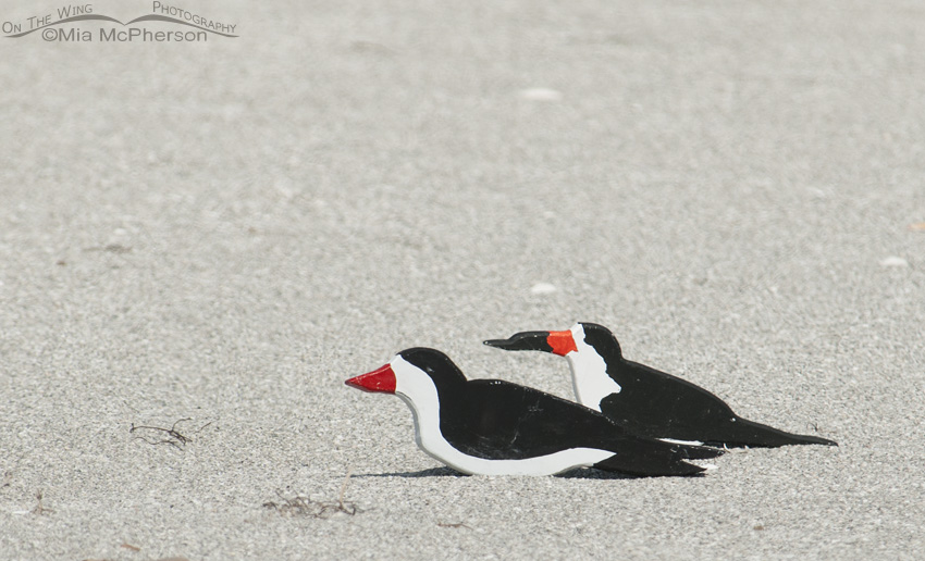 Black Skimmer Decoys