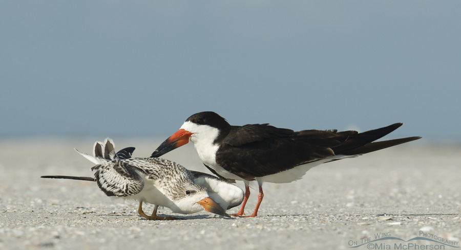 Young and adult Black Skimmer