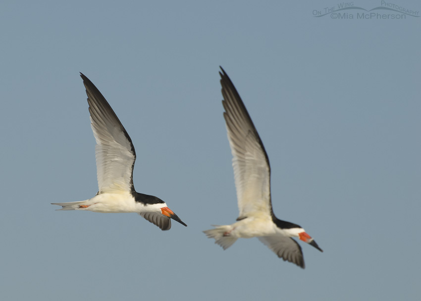 Black Skimmer adults in flight