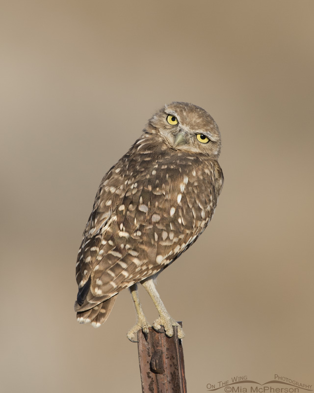 An adult Burrowing Owl giving me a look of curiosity