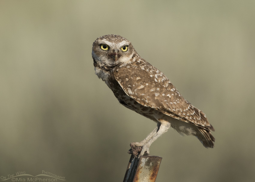 A female Burrowing Owl up close