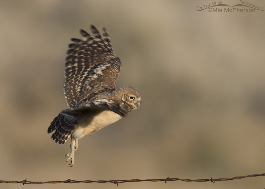 A young Burrowing Owl about to land on a barbed wire fence