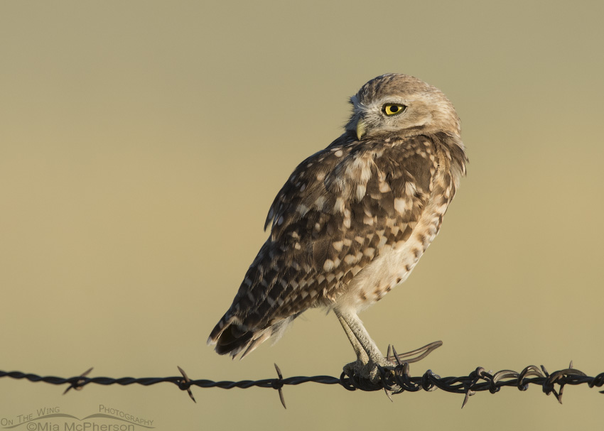 A juvenile Burrowing Owl perched in front of a field of grain