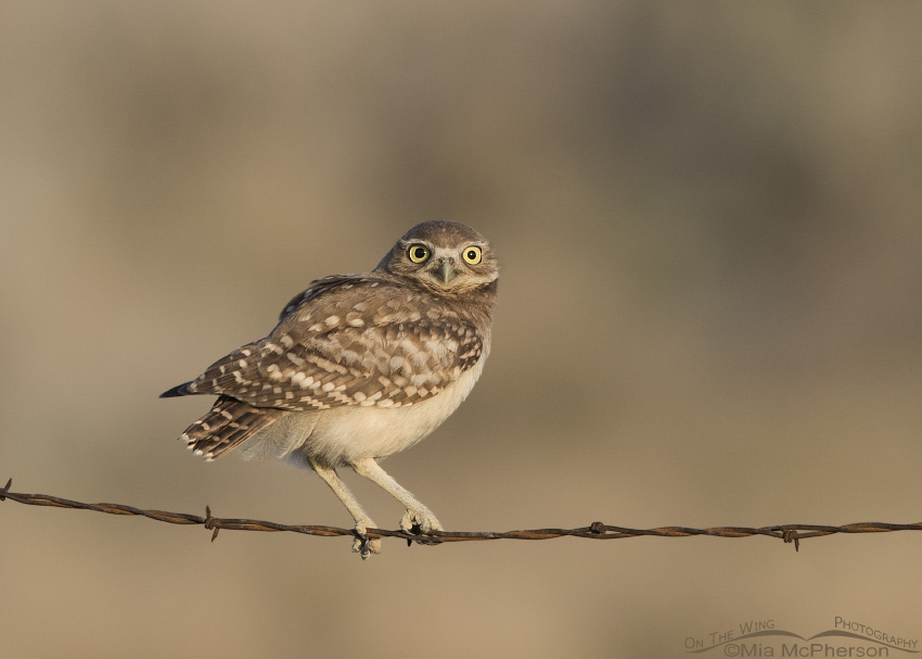 A young Burrowing Owl perched on a barbed wire fence