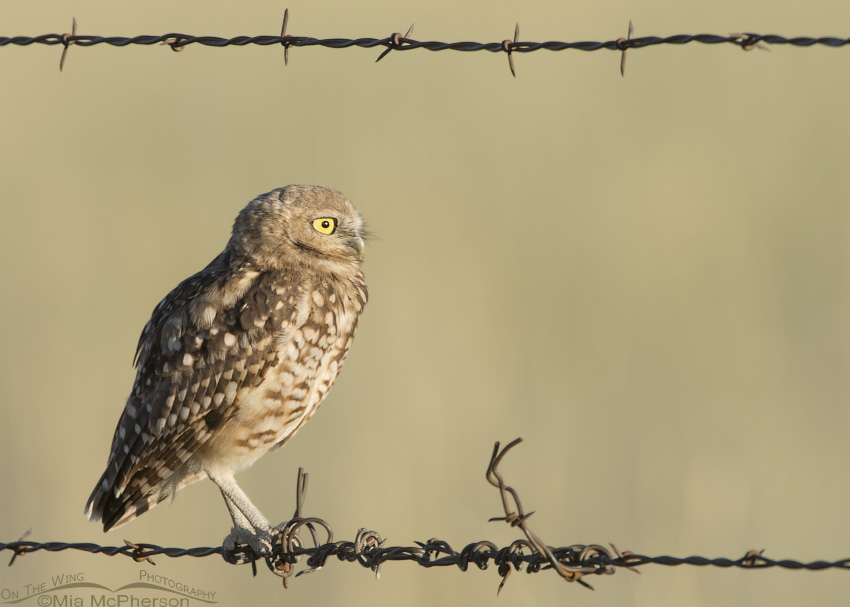 A juvenile Burrowing Owl framed by a barbed wire fence